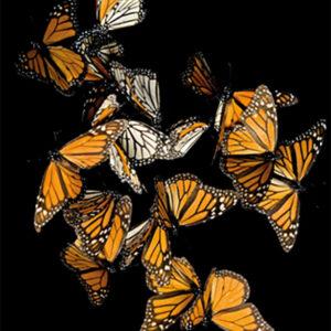 Schilderij-aluart-dib1657-butterflies