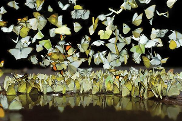 Schilderij-dib1612-butterfly