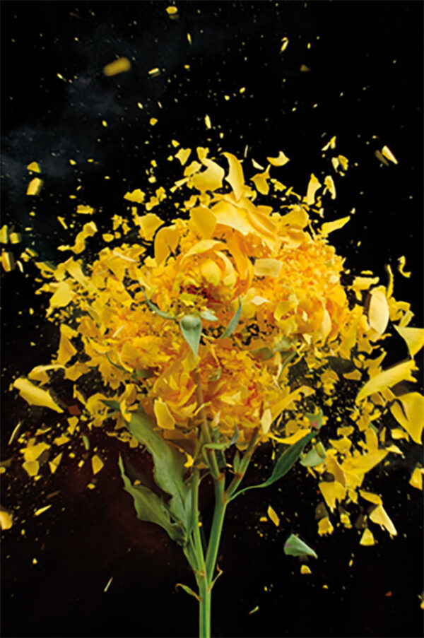 Schilderij-dib1671-exploding-yellow--rose