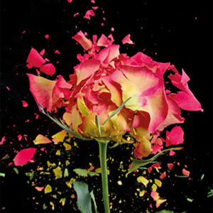 Schilderij-dib1672-exploding-pink-rose