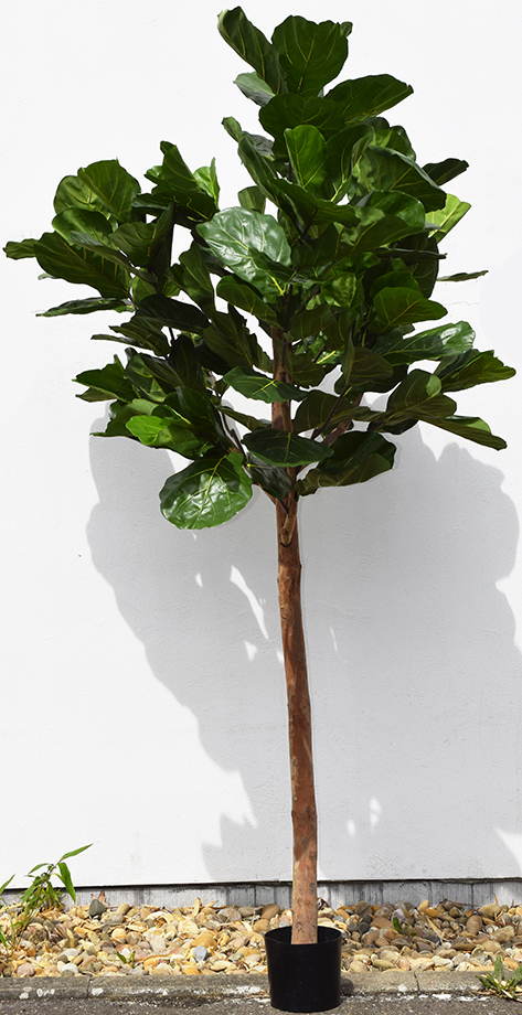 Fiddle-leaf-tree