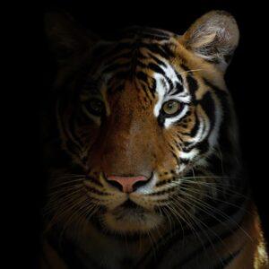 Schilderij-matdib1887-120x120-tijger